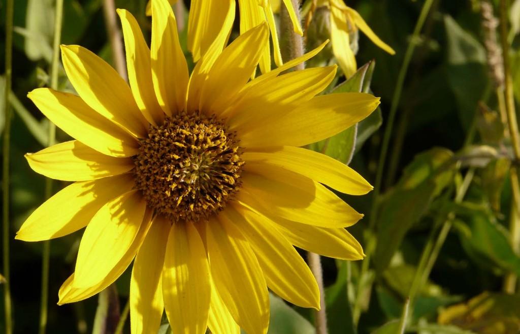 wild sunflower by Sarah Franzen